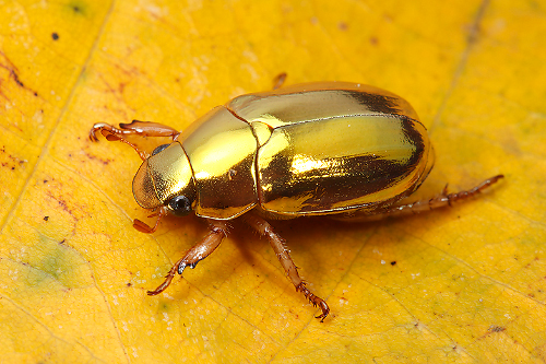 Golden-christmas-beetle