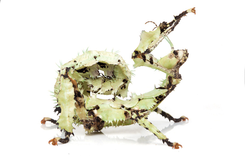 Lichen-spiny-leaf-insect-on-white-background