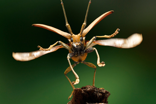 Longicorn-beetle-taking-off