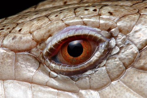 Blue-tongue Lizard eye - Tiliqua scincoides intermedia