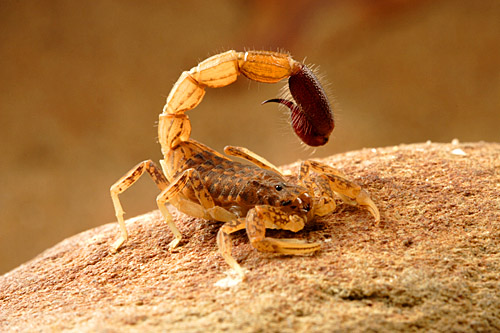 Spider-Hunting-Scorpion-Isometroides-sp.
