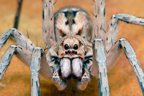 Wolf-spider-Lycosidae
