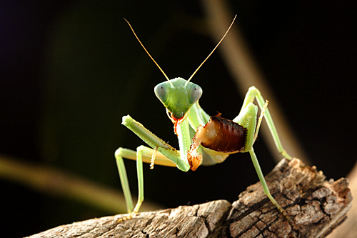 Green-Mallee-mantis-Sphodropoda