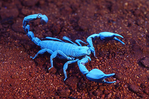 Black-Rock-Scorpion-Urodacus-manicatus