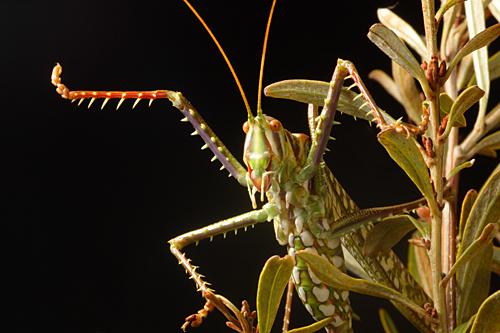 Spotted-Predatory-Katydid-Chlorobalius-leucoviridis