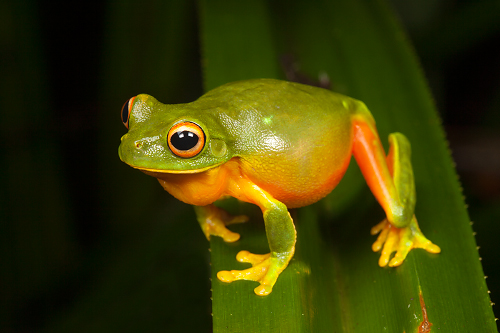 Orange-thighed-Tree-Frog-Litoria-xanthomera