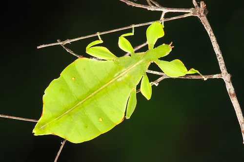 Australian-leaf-insect-Phyllium-monteithi