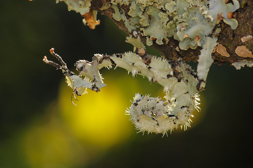 Spiny-leaf-insect-on-lichen