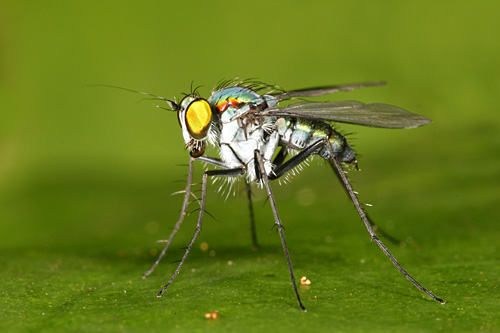 Blue-iridescent-fly