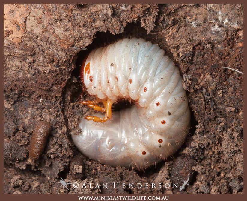 baby beetles